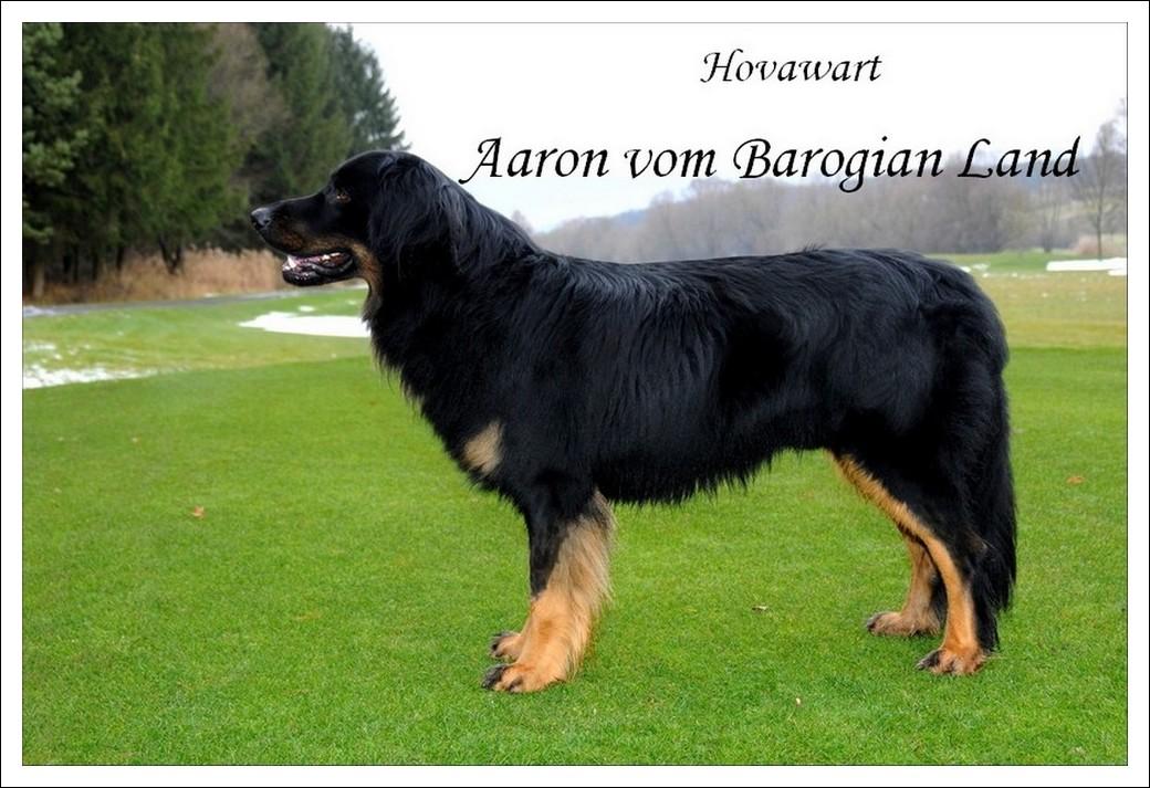 Hovawart Aaron vom Barogian Land