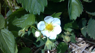 white and yellow strawberry flower
