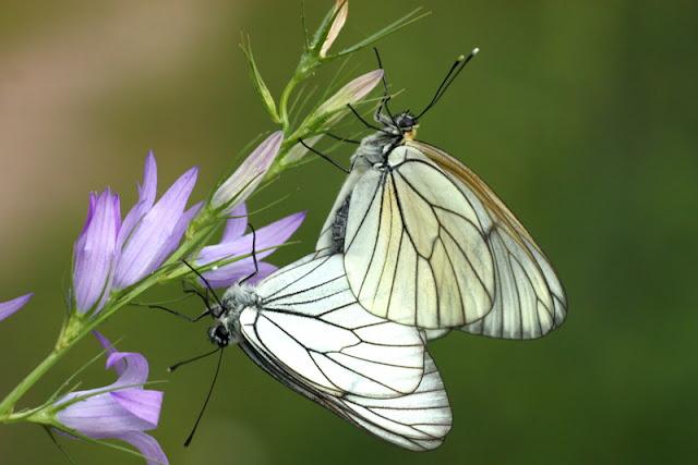 alıç kelebekleri çiftleşme