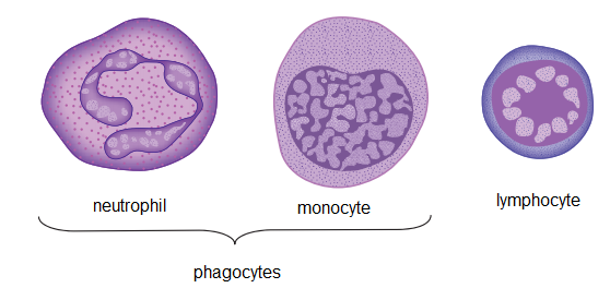 Pics For > Lymphocyte Structure