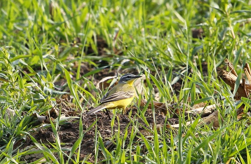 western yellow wagtail (Motacilla flava) in souuthern Germany