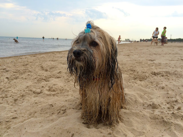 Montrose dog beach Chicago Rocco Havanese