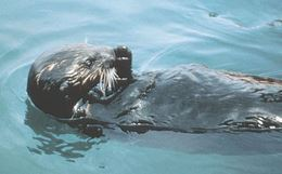 Sea otter in oil spill