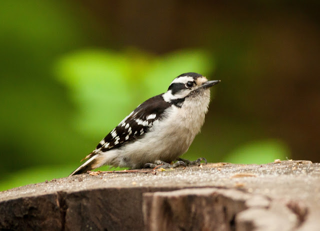 Downy Woodpecker - Central Park, New York