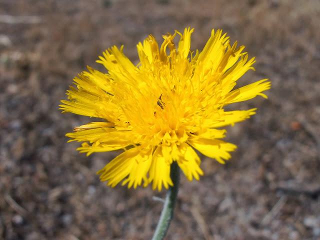 flor-de-ajonjera-andryala-ragusina