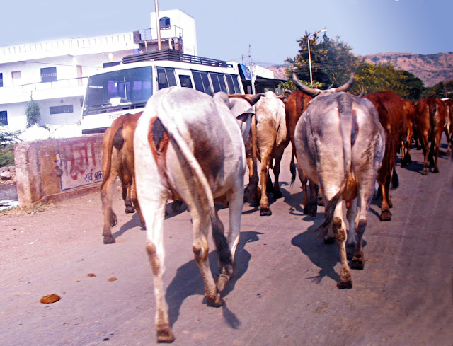 cows being herded on city streets
