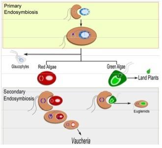Molecular Evolution Forum: Endosymbiosis and Photosynthetic Animals