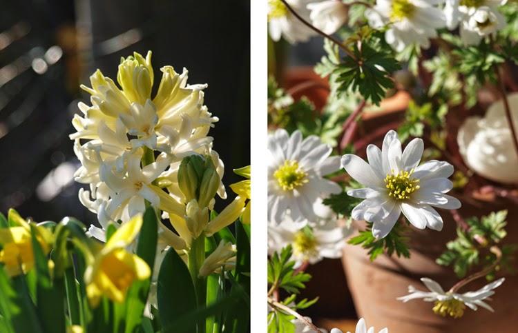 Hvide anemoner og hyacinter i forårshaven