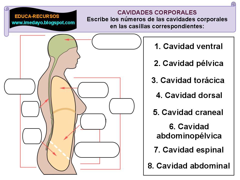Biología: CAVIDADES CORPORALES