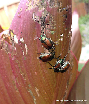 Eggshells work to kill Japanese beetles