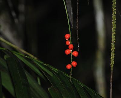 Walking Stick Palm (Linospadix monostachya)