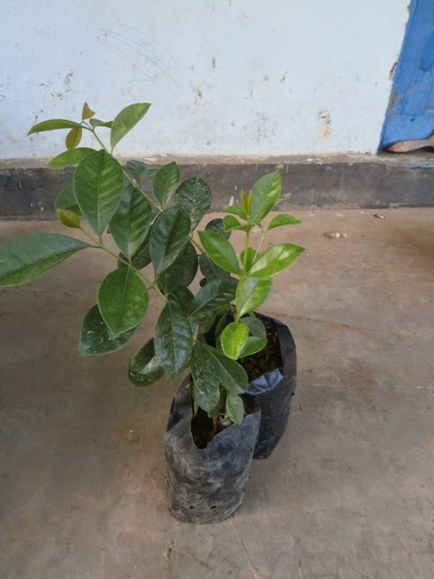 Cherry Guava Unggul