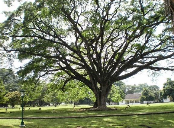 inilah pohon rindang ki hujan