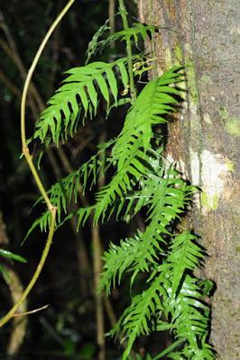 Fragrant Fern (Microsorum scandens)