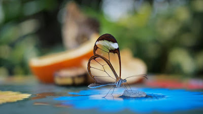 THE GRETA OTO ALSO KNOWN AS THE GLASS WINGED BUTTERFLY