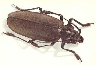 Cel mai mare gândac din lume