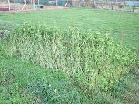 Mustard Green Manure