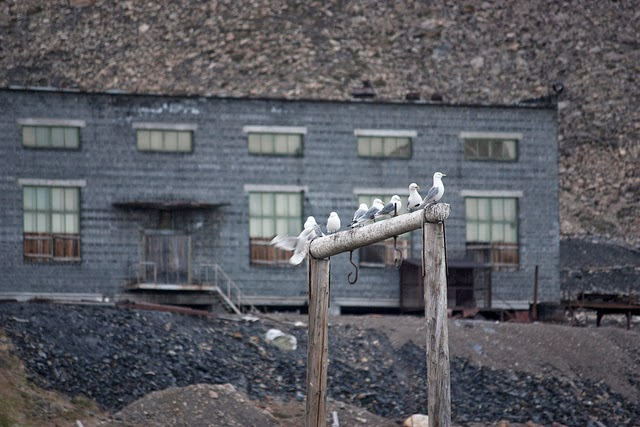 Sea Gulls in Pyramiden