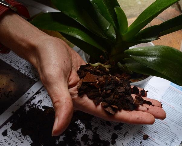 орхидеи дендробиум