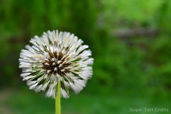 A fluffy white dandelion that was caught in the rain.