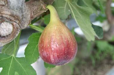 figs estrogen