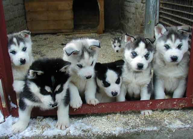 Cute Siberian Husky Puppies Pictures | Siberian Husky Reviews and