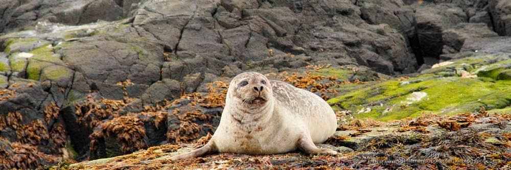 Foca común o moteada (Islandia)