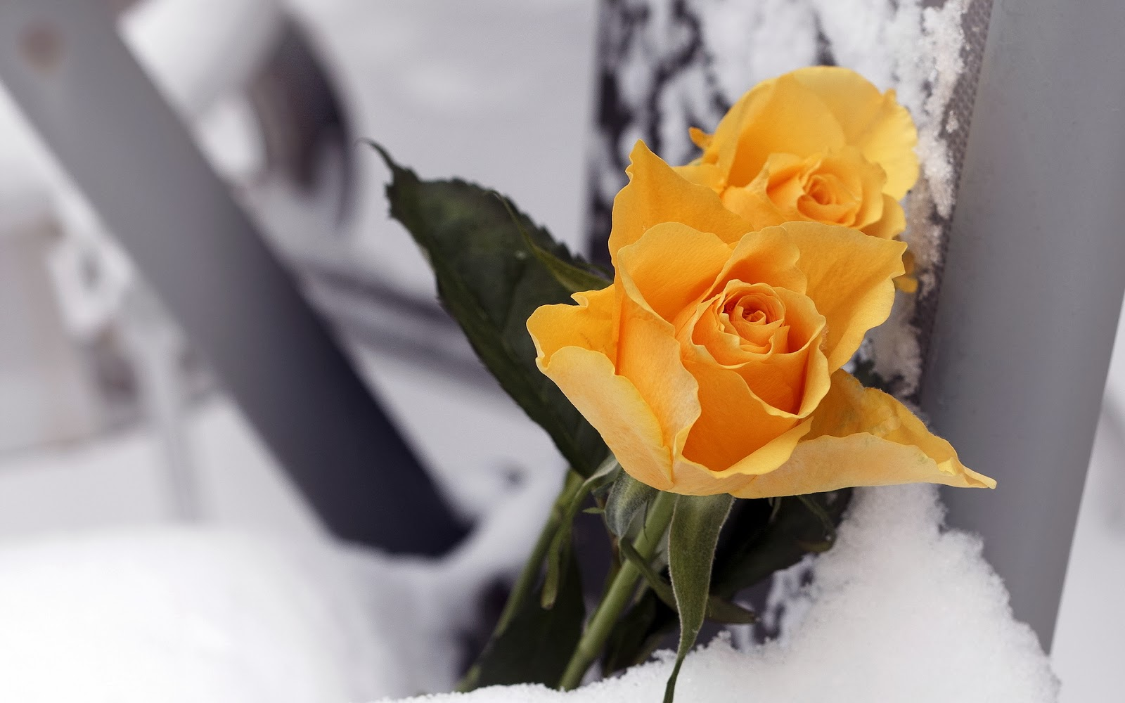 Yellow-Rose-with-snow-background-Template-for-writing-wishes-quotes.jpg