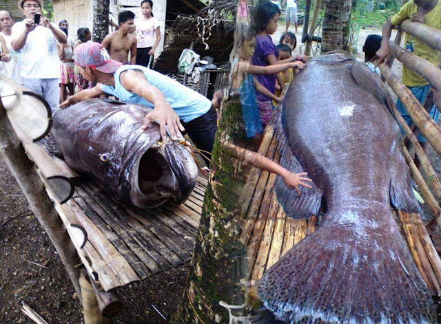 Giant Lapu Lapu was caught in Binit Baybay Antique, and was sold in Kalibo