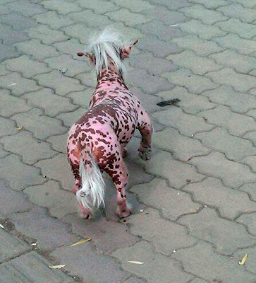 perro cerdo de china mutante piel rosada sin pelo