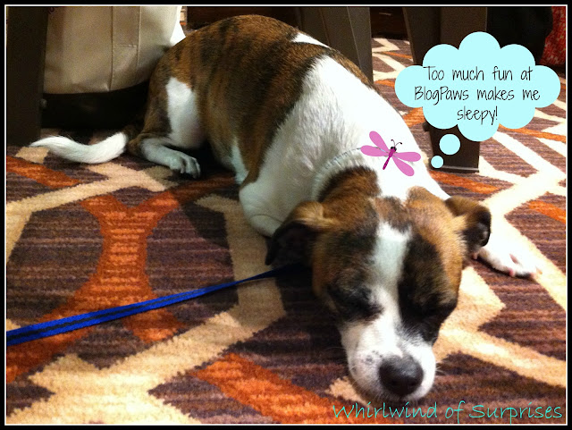 Adorable Jack Russell Terrier at BlogPaws blogging conference