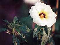 Bunga Pukul Delapan, Tanaman Herbal Dari Hindia Barat