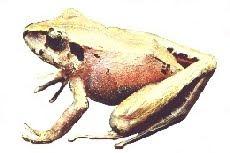 Ranzinha (Eleutherodactylus guentheri)