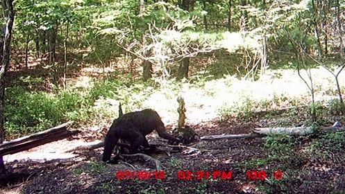 Bigfoot Photo From Virginia