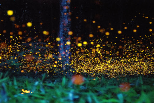 Enchanting Firefly Forest in Japan