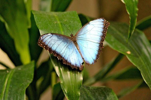 Morpho Butterflies at Museum of Otago Dunedin
