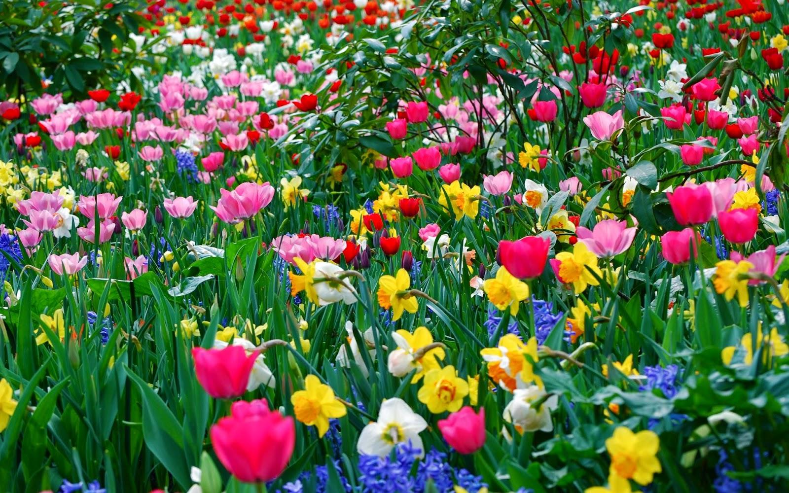 Farm of Tulip