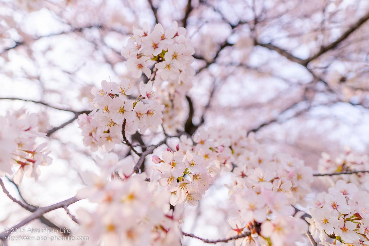 満開の桜 その2