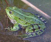 Rana verde o rana comune o rana esculenta