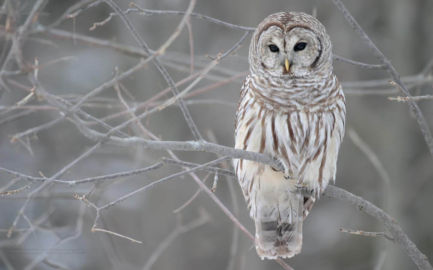 Owl Wallpapers Hd 1