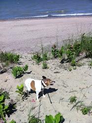Gus is not a beach dog