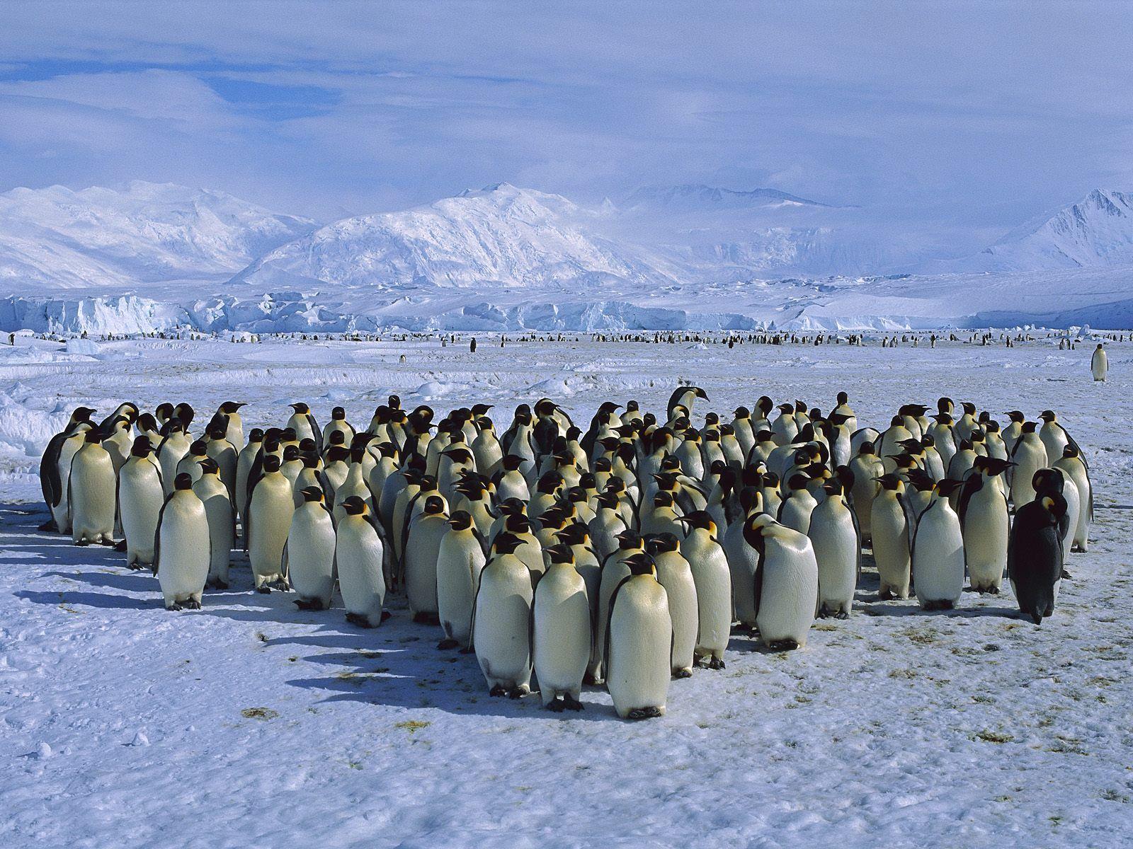 http://4.bp.blogspot.com/-6Tn4HA8ZKl8/TjmOdxCZ-pI/AAAAAAAAAOk/94IOLMwyItc/s1600/Penguin+Wallpapers+10.jpg