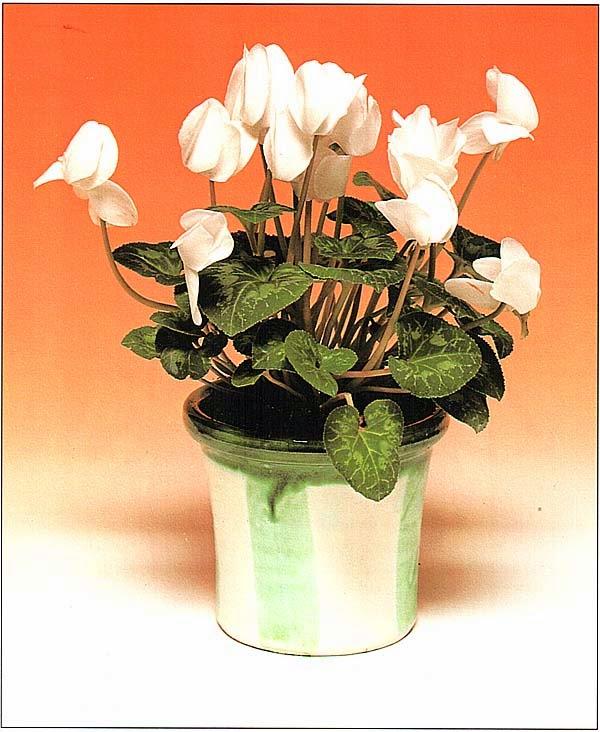 Крупноцветковый гибрид цикламена