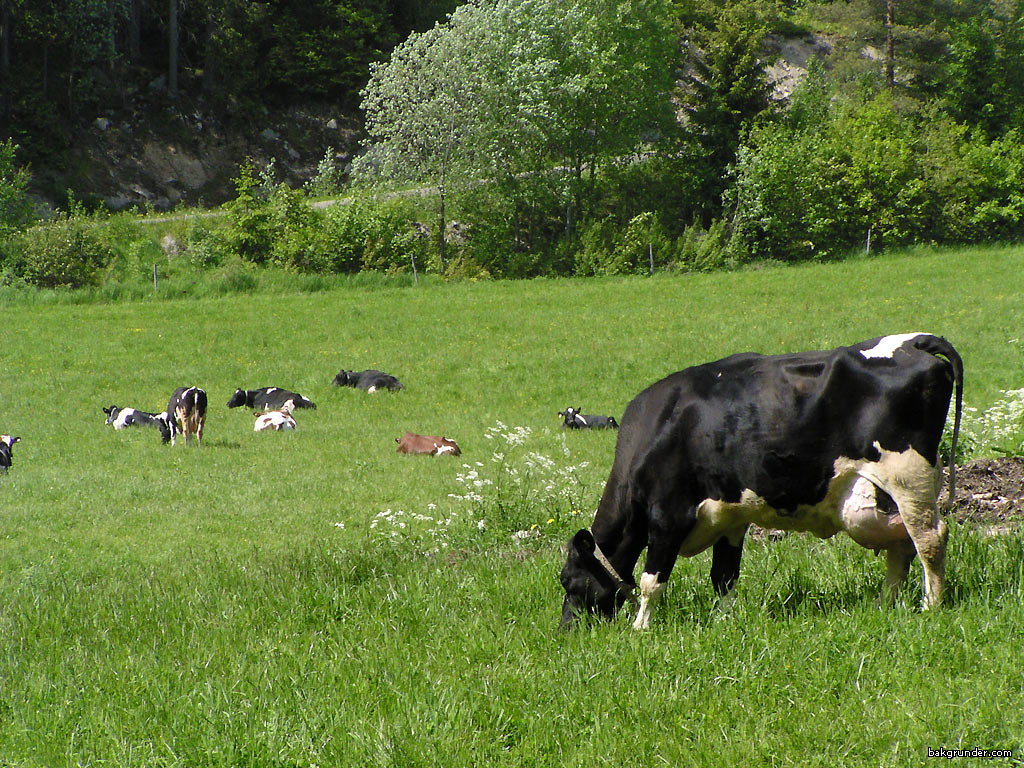 cow wallpaper related keywords suggestions cow