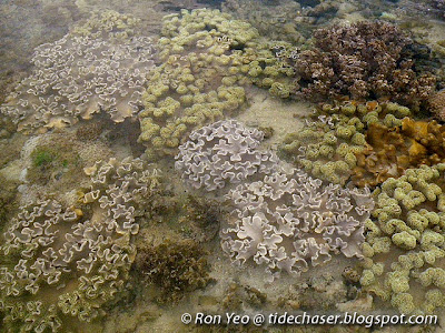Soft coral colonies