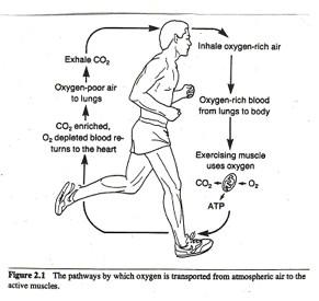 löpning tränar vilka muskler