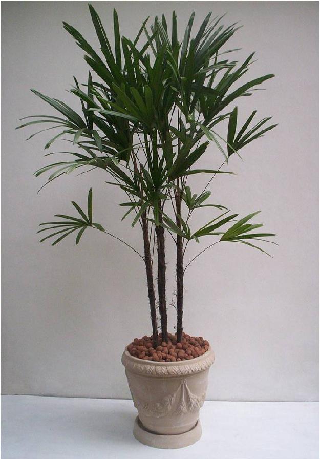 Floricultura Primavera: Palmeira Ráfis
