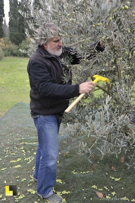 Alain Blachier ramasse ses olives photo blachier pascal