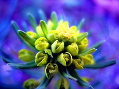 fotos de flores - flor verde