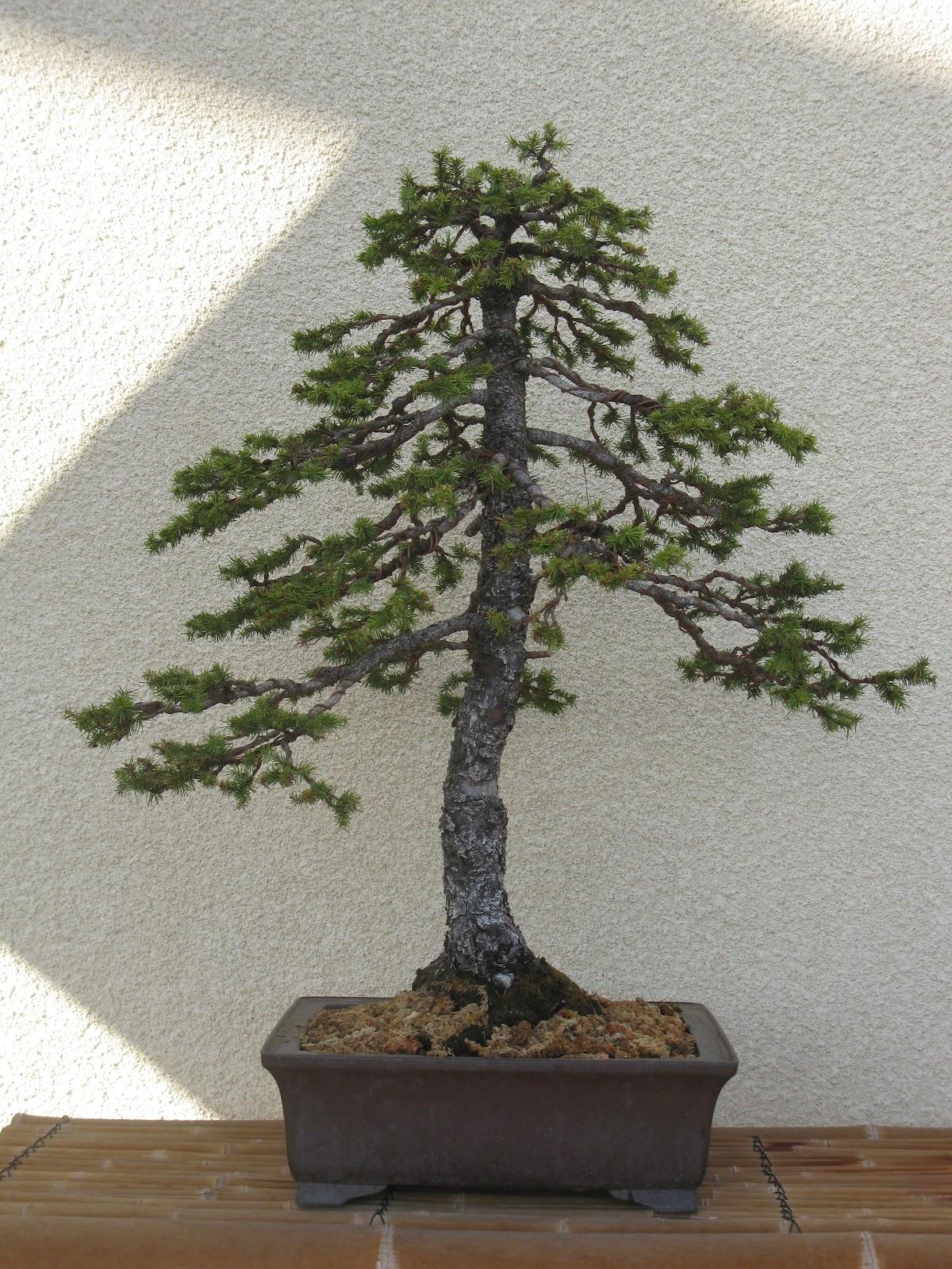 matsu bonsai le printemps beaucoup de travail dans le jardin en cette saison. Black Bedroom Furniture Sets. Home Design Ideas
